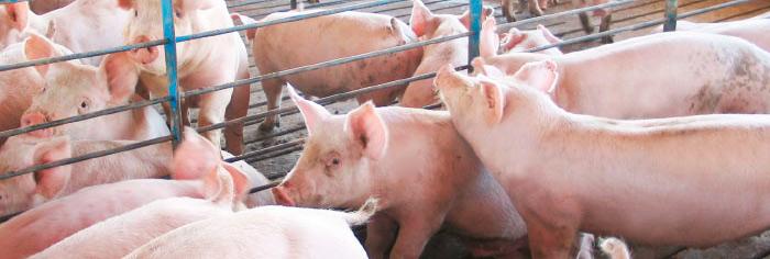 calefaccion en granja cerdos
